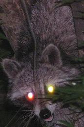 raccoon firing up his laser eyes