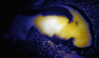 Skunk with defensive force field on